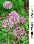 Small photo of Allium nutans, ornamental Onion from Siberian