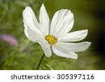 White Cosmos Flower Blossom In...