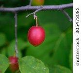 Small photo of American Plum (Prunus americana)