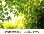 green leaf of japanese maple | Shutterstock . vector #305631992