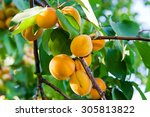 Branch Of An Apricot Tree With...