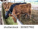 Red Angus Cattle In Confinemen...