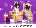 Stock photo french bulldog puppies in wooden wash basin with soap bubble 305879738