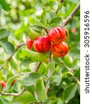Small photo of acerola plant and fruit