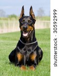 Portrait Of Dobermann With...