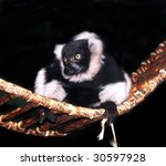 black and white ruffed lemur on hammock - stock photo
