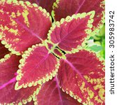 Small photo of Group of coleus plants with colorful leaves