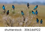 Superb Starling. Tanzania....