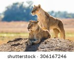 two lionesses on the hill....   Shutterstock . vector #306167246