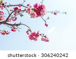 cherry blossom  sakura flowers. | Shutterstock . vector #306240242