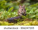 Wild Wood Mouse Peeking From...