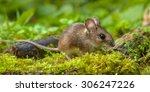 Wild Wood mouse walking on the forest floor with lush green vegetation - stock photo
