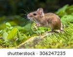 wild wood mouse resting on the... | Shutterstock . vector #306247235
