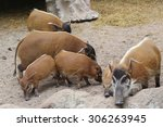 Red Africa  Boar  Red River Ho...