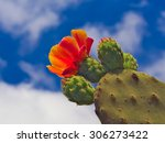 buds and flower of prickly pear ...   Shutterstock . vector #306273422