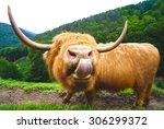 Big Shaggy Highland Cow Lookin...