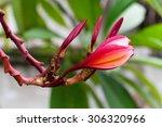 red frangipani   Shutterstock . vector #306320966