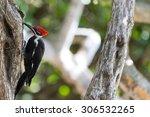 Redheaded Woodpecker Pecking O...