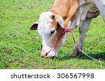 cow eating grass | Shutterstock . vector #306567998