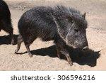 chacoan peccary  catagonus... | Shutterstock . vector #306596216