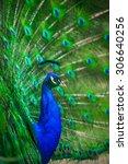 portrait of beautiful peacock... | Shutterstock . vector #306640256