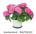 Pink Hortensia Flowers In Pot...