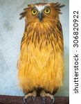 Buffy Fish Owl Portrait  Close...