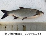 fresh catch of the asp fish ... | Shutterstock . vector #306941765