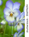 pansy family macro in blue and... | Shutterstock . vector #30699694