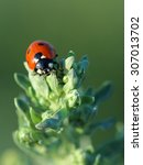 Small photo of Ladybird on leaves absinthe wormwood. Closeup