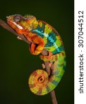 A Panther Chameleon Is Resting...
