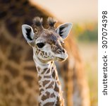 portrait of a young giraffe.... | Shutterstock . vector #307074398