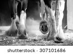 Clydesdale Horses Legs Detail...