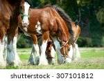 Clydesdales Horse Horses...