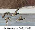 Flock Of Mallards