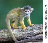 Small Common Squirrel Monkeys ...