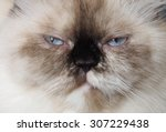 full face grumpy cat sitting on ... | Shutterstock . vector #307229438