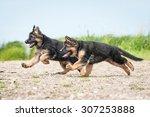 Stock photo two german shepherd puppies running on the beach 307253888