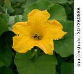 Honey Bee Collecting Pollen Of...