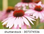 African Daisy  African Cape...