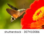 Hummingbird Hawk Moth ...