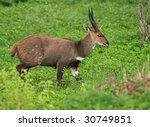 bush buck | Shutterstock . vector #30749851