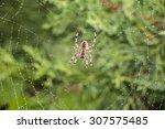 Garden Spider  Argiope Aurantia ...