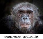 Chimpanzee Face.