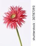 gerber red flower | Shutterstock . vector #30787393