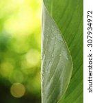Fresh Green Leaf With Drops...