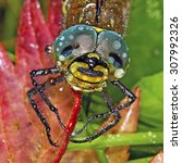 Small photo of Dragonfly with big eyes. The female Siberian rocker (Aeschna crenata H.)