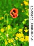papaver rhoeas   wild poppy