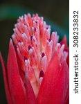 Small photo of Bromeliad (Aechmea fasciata)