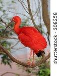 scarlet ibis bird   Shutterstock . vector #308258